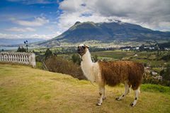 Portrait Of Cute Llama In San Pablo Lake, Imbabura Royalty Free Stock Photography