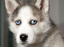 Portrait Of Cute Siberian Husky Puppy Royalty Free Stock Photos