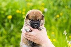 Portrait Of Cute Two Weeks Old Shiba Inu Puppy In The Hands Of The Owner In The Buttercup Meadow Royalty Free Stock Photos