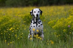 Portrait Of Dalmatian On Meadow Royalty Free Stock Photos