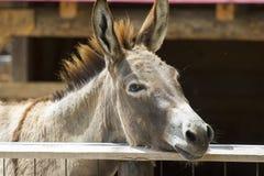 Free Portrait Of Donkey Royalty Free Stock Photo - 56203855