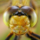 Portrait Of Dragonfly Stock Photo
