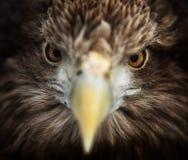 Free Portrait Of Eagle, White-tailed Haliaeetus Albicilla Royalty Free Stock Photos - 169722988