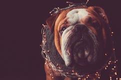 Portrait Of English Bulldog With Christmas Lights Stock Photo