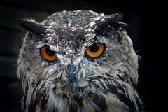 Free Portrait Of Eurasian Eagle Owl Stock Image - 159269631