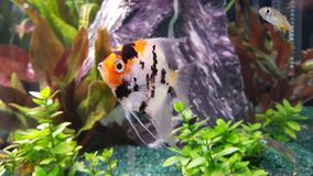 Free Portrait Of Freshwater Angelfish Scalare, Pterophyllum Scalare Royalty Free Stock Image - 145860416
