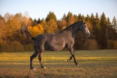 Free Portrait Of Galloping Young Gray Mare In The Field Royalty Free Stock Image - 160731966