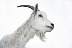 Portrait Of Goat On A White Background Stock Photo