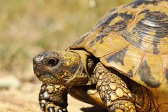 Free Portrait Of Greek Turtoise Royalty Free Stock Photo - 122728635