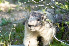 Portrait Of Hoary Marmot (Marmota Caligata). Glacier National Pa Stock Photo