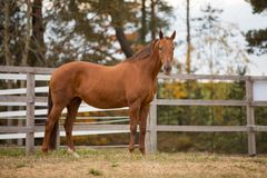 Free Portrait Of Horse In Paddock Stock Image - 160732061