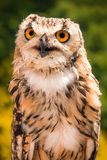 Portrait Of Indian Eagle Owl Royalty Free Stock Images