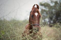 Free Portrait Of Kathiawari Stallion Posing In Natura Place. India Royalty Free Stock Photo - 126002315