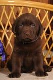 Portrait Of Labrador Puppy Brown Color Stock Image
