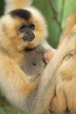 Portrait Of Lar Gibbon Female With Animal Baby Royalty Free Stock Photography