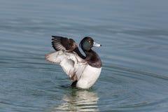 Free Portrait Of Male Tufted Duck Aythya Fuligula Splashing And Gro Stock Image - 87776401