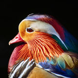 Portrait Of Mandarin Duck Stock Image