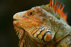 Free Portrait Of Orange Iguana In The Dark Green Forest, Costa Rica Royalty Free Stock Photography - 88568267