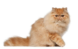Free Portrait Of Persian Cat, 7 Months Old Stock Photos - 24991733
