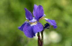 Portrait Of Purple Siberian Iris Flower Royalty Free Stock Photography