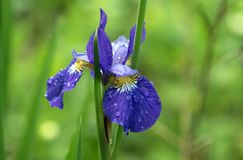 Portrait Of Purple Siberian Iris Flower With Dewdrops. Royalty Free Stock Photo