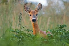 Free Portrait Of Roe Deer Doe Female In Summer Royalty Free Stock Photo - 106505505