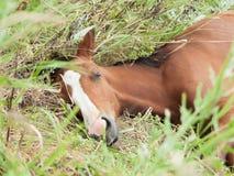 Free Portrait Of Sleeping Arabian Foal  In The Meadow Royalty Free Stock Photos - 80231318