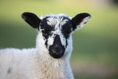 Free Portrait Of Swaledale Lamb Royalty Free Stock Photography - 191675677