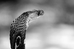 Free Portrait Of Venoums Indian Black Cobra Royalty Free Stock Image - 55291396