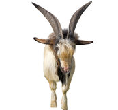 Portrait Of White Goat Royalty Free Stock Image
