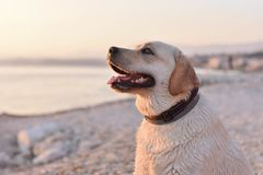 Free Portrait Of White Labrador Retriever Puppy At The Beach Stock Images - 102608004