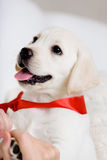 Portrait Of White Puppy With Red Ribbon On The Neck Stock Photography