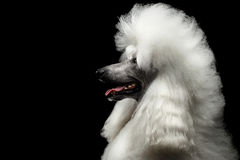 Free Portrait Of White Royal Poodle Dog Isolated On Black Background Stock Image - 92144891