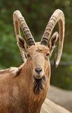Portrait Of Wild Goat Stock Images