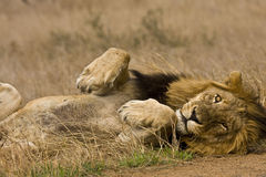Free Portrait Of Wild Male Lion Lying Down In The Bush, Kruger, South Africa Royalty Free Stock Photography - 49812297