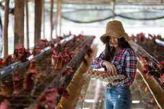 Free Portrait Of Young Asian Woman Farmer Collect Fresh Eggs In Hands In Eggs Chicken Farm Royalty Free Stock Photography - 182326167