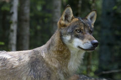 Portrait Of Young Wolf In The Woods Stock Images