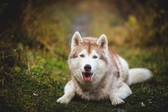 Portrait of adorable and beautiful siberian Husky dog lying in the bright fall forest at sunset. Portrait ofadorable and beautiful beige siberian Husky dog lying royalty free stock images
