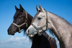 Portrait ofArabian horses Royalty Free Stock Photo
