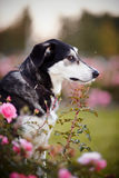 Portrait of the offended black-and-white dog in pink roses. Stock Photo