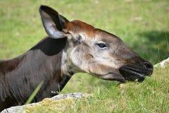 Portrait of okapi eating grass. Portrait of okapi (Okapia johnstoni) eating grass Stock Photo