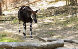Portrait of an Okapi from the family of Giraffe. Stock Photography