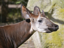 Portrait of okapi Royalty Free Stock Photography