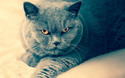 Portrait of old adorable british cat Royalty Free Stock Images