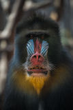 Portrait of old African mandrill in the open resort royalty free stock images