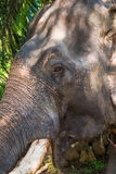 Portrait of old asian jungle elephant, thick skin, ivory in Thailand Stock Images