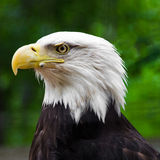 Portrait of an Old Bald Eagle. A portrait of an old bald eagle looking left in the woods Stock Photos