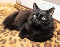 Portrait of an old black cat Royalty Free Stock Photography