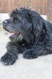 Portrait of an old black dog in the backyard Stock Image