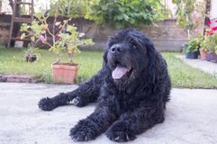 Portrait of an old black dog in the backyard Stock Photos